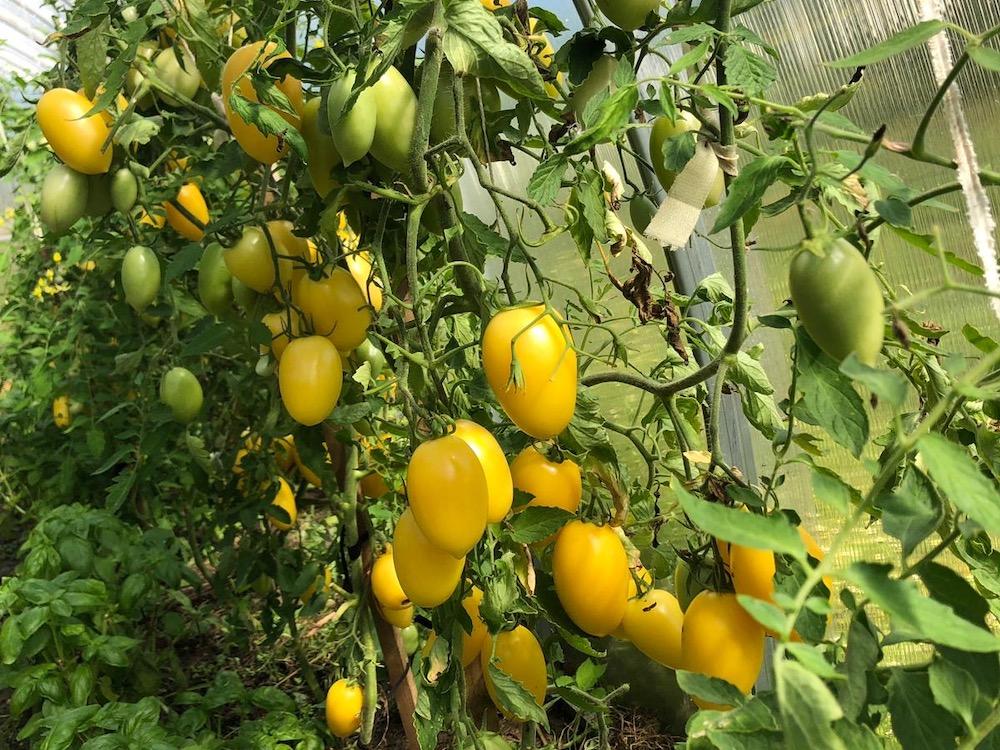geltonieji-pomidorai